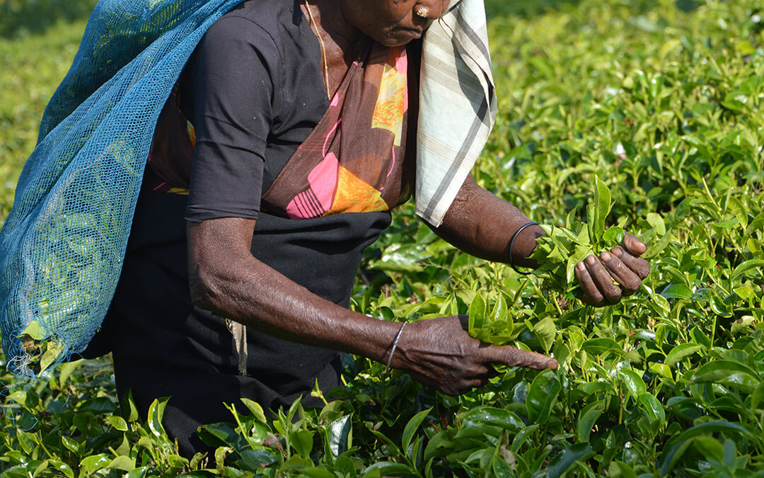woman picking tea in field