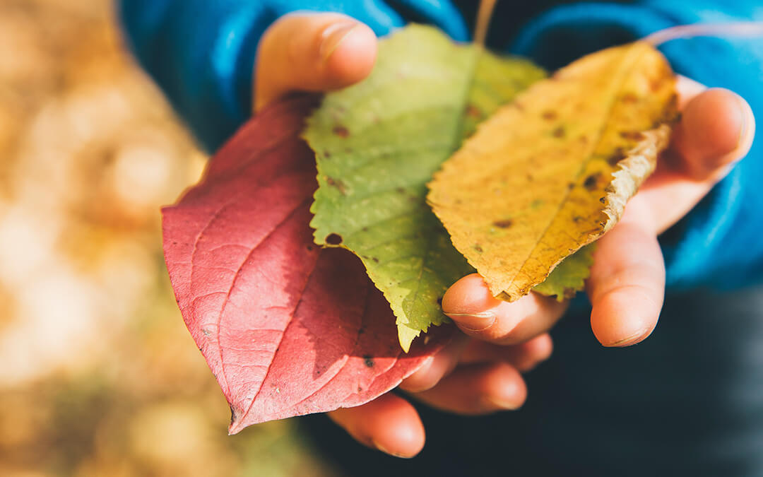 hands holding autumn coloured leaves